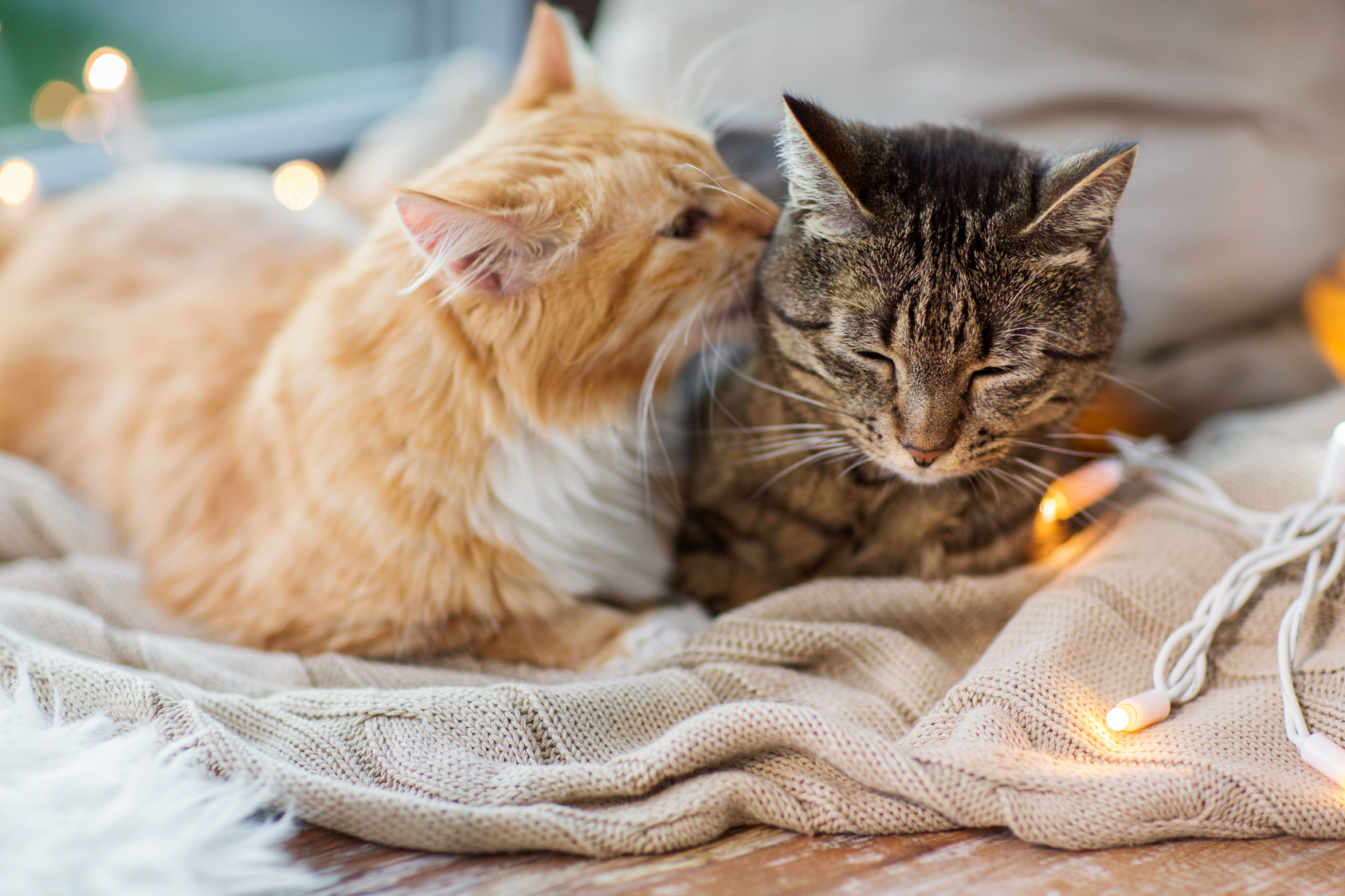 two cats lying on window sill with blanket at home